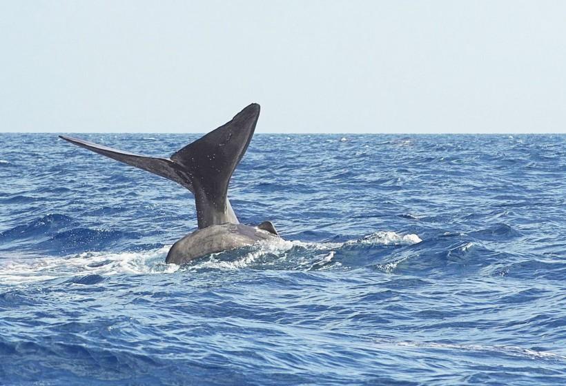 Diving - Sperm-Whale